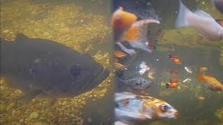 Download FEEDING my BACKYARD FISH | Underwater Edition Video