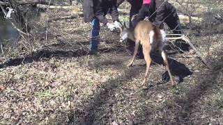 Download Man tries to save deer. Deer tries to kill man. Man breaks off deer antler. Video