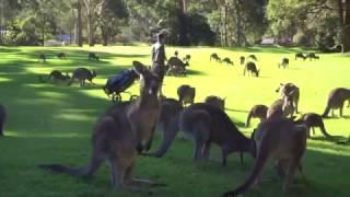 Download Fleet of Kangaroos Land on Golf Course Video