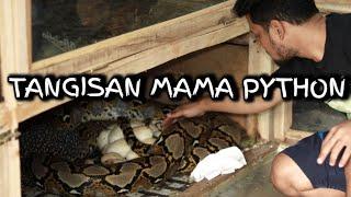 Download INDUK PYTHON INI MENANGIS SAAT TELURNYA PANJI AMBIL Video