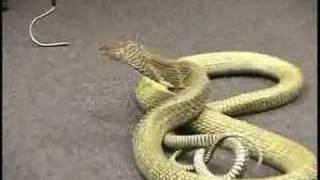Download Big, Bad King Cobra Video