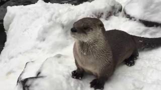 Download River otters Tilly and B.C. frolic in the snow Video