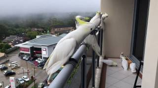 Download Cockatoos coming from all around to say Good Morning Video