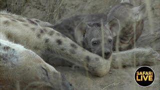 Download safariLIVE - Sunset Safari - April 17, 2019 Video