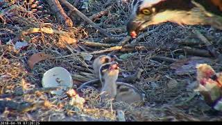 Download Morning After Egg #2 Hatches, Two Chicks Stay Well Fed In Savannah (Edited) – April 19, 2018 Video
