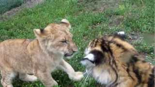 Download Baby Lion & Tiger playing Video