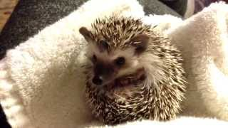 Download Baby Hedgehog Waking Up (So Cute) Video