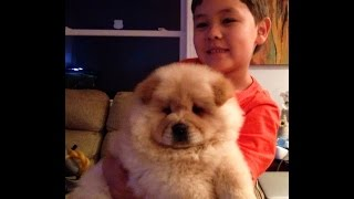 Download Teach Chow Chow Puppy dog sit wait come handshake commands practicing with a seven years old boy Video