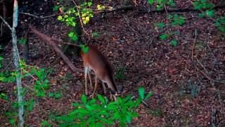 Download Worn Out Water Oak (Traditional Bowhunt) Video
