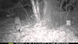 Download Trailcam 'Snowset' fox catch Video