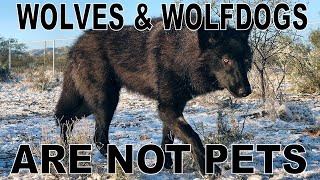 Download You CANNOT Own A Wolf or Wolfdog - This is why... Video