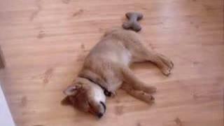 Download My Sleep Talking Shiba Inu Video