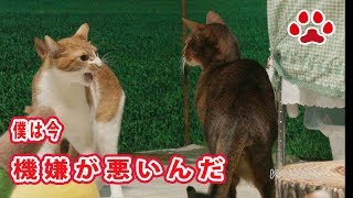 Download 近寄るな!機嫌が悪い猫まや【瀬戸のまや日記】 Stay away from me !Maya is in a bad mood Video