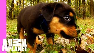 Download Bear The Rottweiler Breaks Away From The Pack | Too Cute! Video