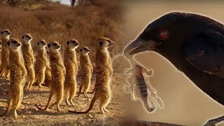 Download Drongo Bird Tricks Meerkats - Africa - BBC Video