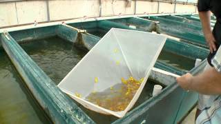 Download Fish Farm in FLA introducing new Glo Barbs from Segrest Video