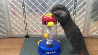 Download 知育玩具で夢中になって遊ぶカワウソ「きなこ」 Video