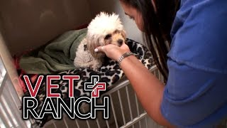 Download Craziest Thing I Have Removed From a Puppy (SURGERY) Video