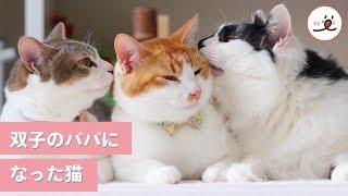 Download 今日からぼくがパパになる! 双子の保護猫を育てたお兄ちゃん猫😻【PECO TV】 Video