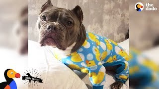 Download Pit Bull Who Was Scared Of Men Falls In Love With His New Dad | The Dodo Pittie Nation Video