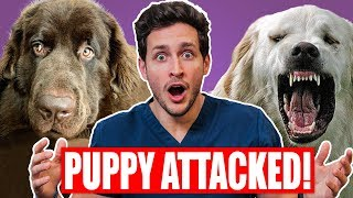 Download My Puppy Got ATTACKED! | Safest Way To Break Up a Dog Fight | Doctor Mike Video