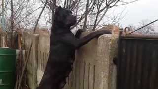 Download Cane Corso Pitesti (dupa fatare) Video