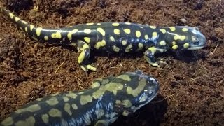 Download Salamander Care and Feeding Video