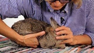 Download How to Handle a Pet Rabbit | Pet Rabbits Video