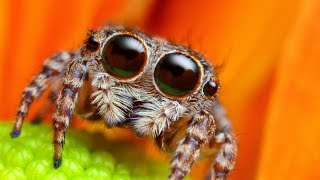Download Lucas the spider - Jumping Spider Photoshop Makeover! Very Cute :) Video