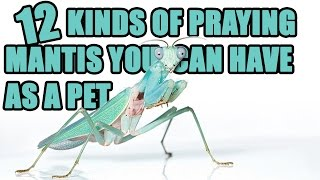 Download 12 Praying Mantis You Can Have as a Pet - How To Care for a Pet Mantis Video