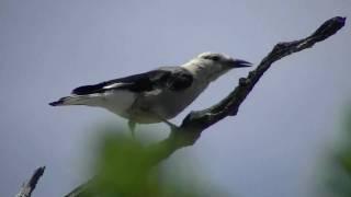 Download Clark's Nutcracker - Desert Bird Video