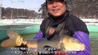Download 전북 김제사나이의 황토향어양식, 향어:물속의 돼지 [어영차바다야 Humanstory] Video