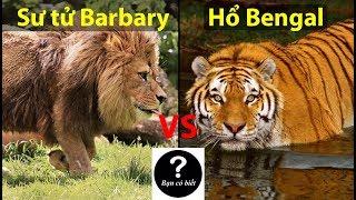 Download Sư tử Barbary vs Hổ Bengal, con nào sẽ thắng #43 || Bạn Có Biết? Video