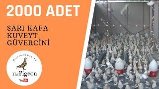 Download Guvercin Mardin Sarıkafa Miski Video