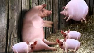 Download piggy Video