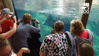 Download Baby Hippo Fiona - What's the Crowd like if She's Out - Cincinnati Zoo Video
