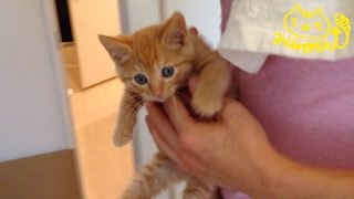 Download 茶トラ子猫「ひろし」どこ連れて行かれるニャ~? 風呂ニャー!!! Cute kitty Hiroshi: Funny cat bath Video