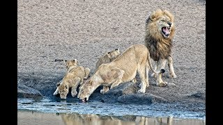 Download 23 Lions & Animals drinking at Nsemani Dam in Kruger National Park Video