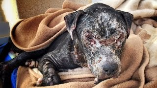Download Dog locked in a room and left to die slowly is rescued and fights for his life Video