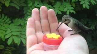 Download HUMMINGBIRD HAND FEEDING Video