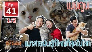 Download เมนคูน แมวสายพันธุ์ที่ใหญ่ที่สุดในโลก - เพื่อนรักสัตว์เอ๊ย EP.41 (1/2) Video