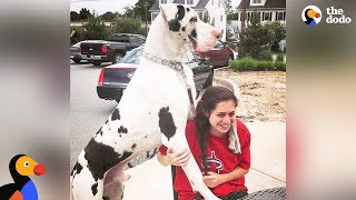 Download Great Dane Dog Pouts Until Mom Gives Him A Morning Hug - KERNEL | The Dodo Video