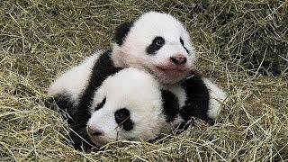 Download 5,3 und 6 Kilo schwere Panda-Zwillinge im Tiergarten Schönbrunn getauft Video