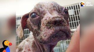 Download Sick Puppy Makes Incredible Comeback - LIBRE   The Dodo Video
