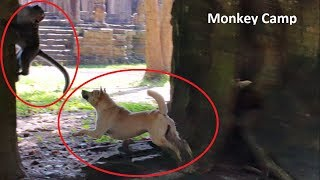 Download Pity monkey, Pity Dog, Dog try to bite monkey, Monkey try to bite dog,Amazing monkey fight with dog Video