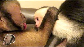 Download Capuchin Monkeys Playing! CUTE! Video