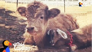 Download Fluffy Cow Is Obsessed With This Little Goat - BUCKLEY & RALPHY | The Dodo Odd Couples Video