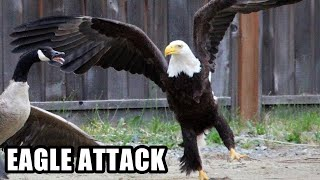 Download Best Eagle Attacks; World's Largest and Deadliest, Bald and Golden Eagles! Video