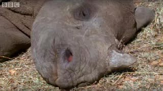 Download Baby Rhino Finds Friends After Being Abandoned | BBC Video