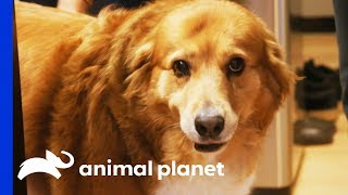 Download Brownie Cakes Is On A Mission To Lose Some Weight | My Big Fat Pet Makeover Video